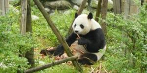 Panda-expressed