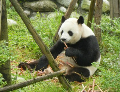 In Pursuit of Pandas, China